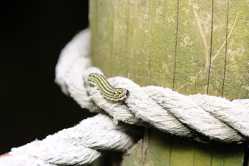 手すりを歩くミノウスバ(幼虫)